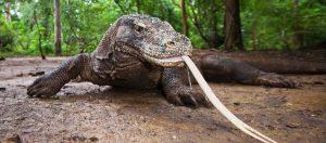 komodo-dragon-indonesia